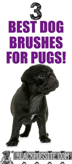 We take a look at some of the best brushes for Pugs. These are the best types of dog grooming brushes to help your Pug look and feel. Black Pug Puppies, English Bulldog Puppies, Lab Puppies, Terrier Puppies, English Bulldogs, French Bulldogs, Boston Terrier, Pug Facts, Adult Pug