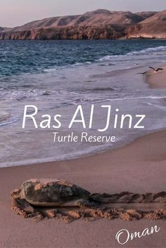 The Ras Al Jinz turtle reserve Oman allows small groups of visitors each day to observe giant turtles land on the beach to hide their eggs - photos and practical info at : Oman Travel, Africa Travel, Beautiful Places To Visit, Beautiful Beaches, Voyage Oman, Naher Osten, Travel Photos, Travel Tips, Travel Ideas