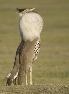 """What on earth is this? A bustard. """"The flamboyance of the flamingos scoffed at by a flock of bustards, troubled the hummingbirds by calling the jays a band of hairy bustards."""