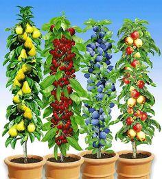 Колоновидные плодовые деревья получили название от формы кроны. Крона представляет форму надземной части дерева, расположение веток по отношению к стволу. Колоновидная форма дерева представляет очень ...