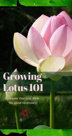 Beautiful tropical looking it's actually easy to grow a lotus plant. Cold hardy to zone 5 you can grow and leave a lotus outdoors in Chicago! via Container Water Gardens Water Garden Plants, Lotus Garden, Container Water Gardens, Lotus Plant, Indoor Water Garden, Pond Plants, Aquatic Plants, Container Gardening, Garden Ponds