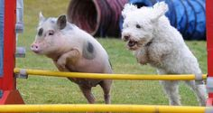PetsLady's Pick: Athletic Pig Of The Day ... see more at PetsLady.com ... The FUN site for Animal Lovers