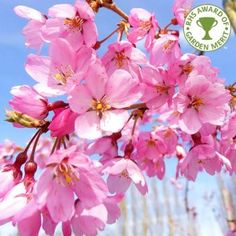 Prunus pendula Pendula Rubra | Single Pink Weeping Cherry Trees
