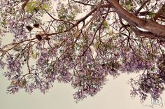 """Purple snow""...♥ #inspiration #photography #nature #jacaranda #tress #love #peace #purple"