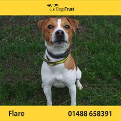 Flare at Dogs Trust Newbury loves to be out and about, she is a typical Terrier and into everything.  She can be selective with other dogs, so would prefer to be the only pet in the home.