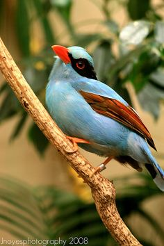 Green magpie by jnoyesphotography on Flickr.  China.