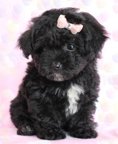 Too cute Toy Poodle Puppies in South Florida. It has the same birthday as me!