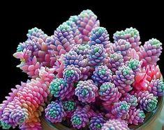 Colorful Succulents, Cacti And Succulents, Planting Succulents, Planting Flowers, Flowering Succulents, Potted Plants, Colorful Plants, Air Plants, Watering Succulents