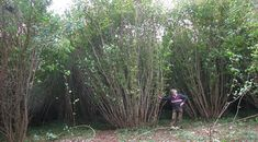 Coppicing is an ancient form of woodland management
