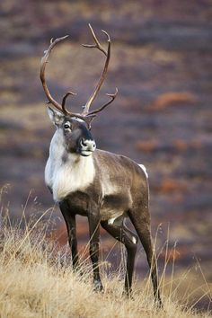 Caribou are one of the main food sources for the Inuit people of Canadian arctic. Cariboo travel in massive herds for hundreds of miles in their annual migrations.