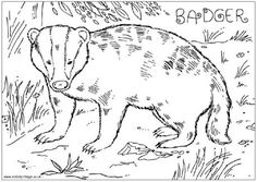 Free Badger Colouring Page