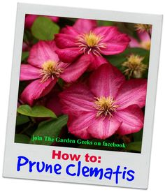 Pruning Clematis Demystified | thegardengeeks