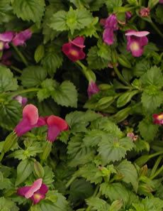 """Torenia, Moon or Summer Wave series - Spiller  Finally more choices for flowering spillers for shade containers! The newer trailing Torenias offer lovely two-toned, open-mouthed flowers in shades of blue, purple, pink white and yellow. They love the summer heat and combine well with Euphorbia 'Diamond Frost', Bacopa, Geraniums and much more.    Part shade to shade  Moderate water needs  Fertilize once or twice a month  Grows 8-10"""" tall 10-12"""" wide"""