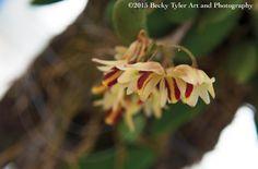 Docknilla Orchid Fine Art Photo Print by BeckyTylerArt on Etsy #smallbiz #macro #photography #flower #flora #yellow #red #docknilla #orchid