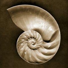 Half Nautilus Photographic Print by John Kuss at Art.com