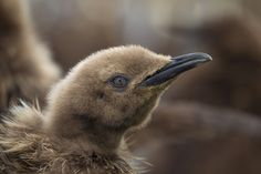 King Penguin chick. - King Penguin chick at Gold Harbour on South Georgia.