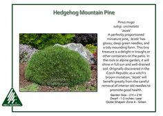 Pinus mugo subsp. uncinata 'Jezek'
