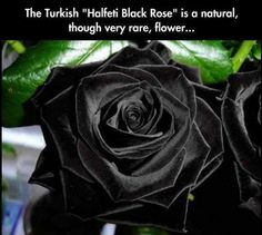 Turkish Halfeti Black Rose