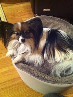 """My Bella would look like this if I didn't have her groomed every month. Papillons are beautiful with their """"mane"""" or a """"puppy cut"""" (like my little girl) Papillion Puppies, Animals And Pets, Cute Animals, Cute Dogs And Puppies, Doggies, Loyal Dogs, Chihuahua Love, Little Dogs, Dog Pictures"""