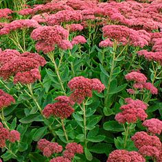 Sedum 'Autumn Joy'...blooms pink in September, and blooms fade to copper. Butterflies love it!  Quote: I usually grow mine in pots as it doesn't like heavy soil. I've had my largest plant for over 20 years now....just realized that!