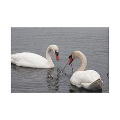 Lienzos Cisne Blanco - Impresiones en lienzo   Zazzle.com