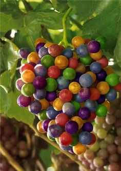 Colourful grapes