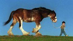 Draft horses are gentle giants!