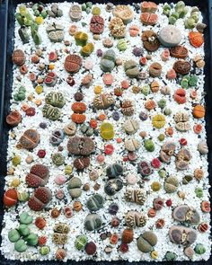 Lithops colors
