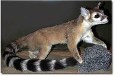 Arizona state animal - Ringtail. AKA miner's cat. They belong to the raccoon family.