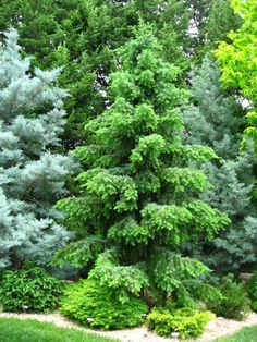 Picea omorika 'Skytrails'. 3X9 in 10 years Native Americans in North America use the thin, pliable roots of some species for weaving baskets and for sewing together pieces of birch bark for canoes.
