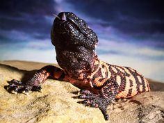 Fave Five by Jana Downs (Jan. 3, 2014) 2. poisonous animal - gila monster