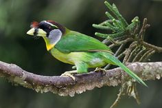 The fire-tufted barbet (Psilopogon pyrolophus) is a species of bird in the family Megalaimidae. Its genus, Psilopogon, is monotypic. It is found in Indonesia and Malaysia. Its natural habitats are subtropical or tropical moist lowland forests and subtropical or tropical moist montane forests.