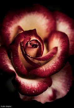 Rose, by alan shapiro photography, via Flickr