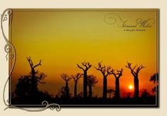 Baobabs at sunset in West of Madagascar