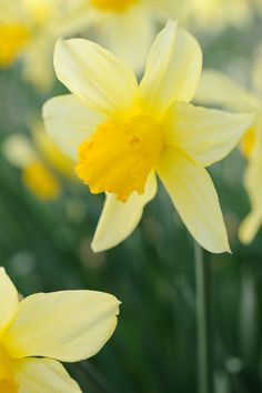 Heritage daffodils in Cornwall. Photo by Jason Ingram, Gardens Illustrated March 2010