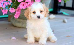 Annie | Cavachon Puppy For Sale | Keystone Puppies Cavachon Puppies, Companion Dog, Design Development, Puppies For Sale, Annie, Corgi, Corgis
