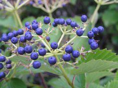 Arrowwood Viburnum Leaves - summer