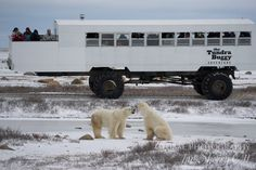 Move over Big 5!  The ins and outs of what to expect when on a polar bear safari in Churchill, and why this Arctic adventure should be on your bucket list!