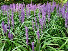 Liriope or Lily Turf