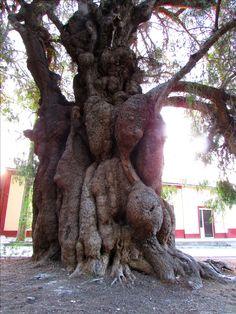 Añoso árbol llamado vulgarmente pimiento, de zonas más desérticas.