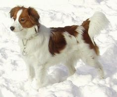 Kooikerhondje soooo pretty but impossible to pronounce