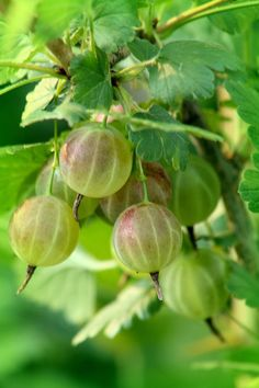 Gooseberries in order to grow need freezing winters and humid summers. These berries are so delicious! I remember picking these with my grandmother and making gooseberry jam. Fruit Garden, Edible Garden, Vegetable Garden, Fruit And Veg, Fruits And Vegetables, Fresh Fruit, Fruit Trees, Trees To Plant, Fruit A Pepin