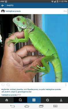 Someone Gave Their Chameleon A Miniature Sword To Hold And Now - Someone gave their chameleon a miniature sword to hold and now everyones joining in