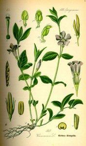 Известно, что барвинок малый – любимый цветок Ж.Ж. Руссо