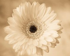 Gerber Daisy Photograph Gerber Daisy photo by WindrushImages White Flower Photos, White Flowers, Botanical Flowers, Botanical Art, Gerbera Flower, Gerber Daisies, Fine Art Photography, Daisy, Monochrome