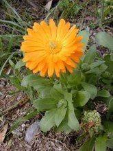 Goudsbloem (Calendula officinalis) is een winterharde, eenjarige plant. Calendula bloeit van juni tot en met september (soms nog langer) met oranje/ gele schijfbloemen van 4 tot 7 cm doorsnee. De bloemen hebben aan het einde van hun bloemblaadjes drie tandjes. http://www.natuurlijkerwijs.com/goudsbloem.htm