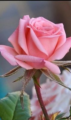 The key issue is to pick a rose which you find beautiful, and that suits your garden. The rose is a kind of flowering shrub. Beautiful Rose Flowers, Amazing Flowers, Beautiful Flowers, Flower Images, Flower Photos, Pink Roses, Pink Flowers, Paper Flowers, Rose Reference