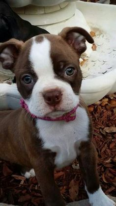 Red Boston Terrier puppyb