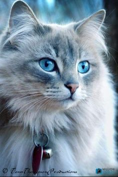 MonChatDore is coming soon – Beautiful Cats⎪Les plus beaux chats - Katzenrassen Beautiful Cats Cute Baby Cats, Cute Cats And Kittens, Cute Baby Animals, Kittens Cutest, Funny Animals, Funny Cats, Pretty Cats, Beautiful Cats, Animals Beautiful