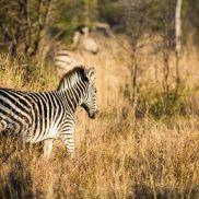 Tracking Instincts | krazywithtravel African Wild. Sabi Sand. Kruger National Park. Zebra Summit Lake, Spring Lake, Kruger National Park, African Safari, Narnia, Track, Runway, Track And Field